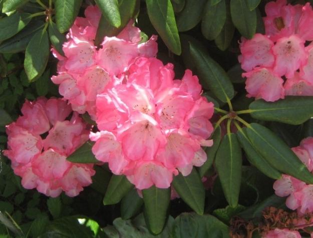 Рододендроны и немного других цветочков.