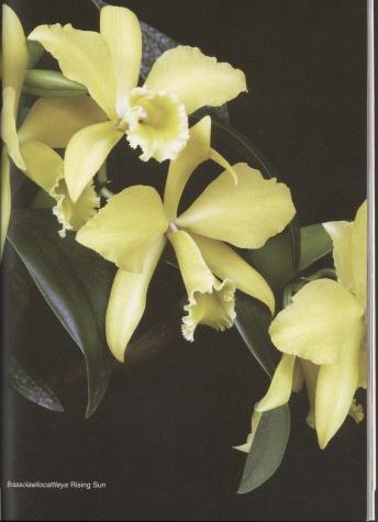 Орхидеи. Галерея