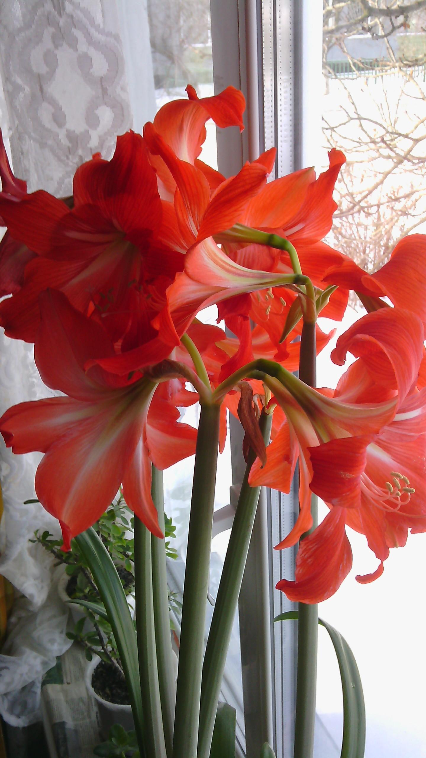 Гиппеаструм уход в домашних условиях почему не цветет фото