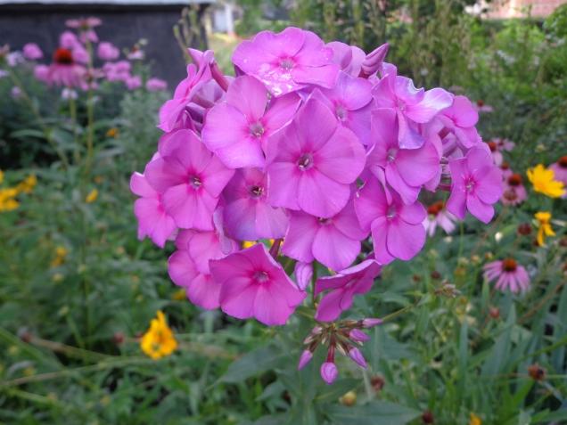 Флоксы цветут