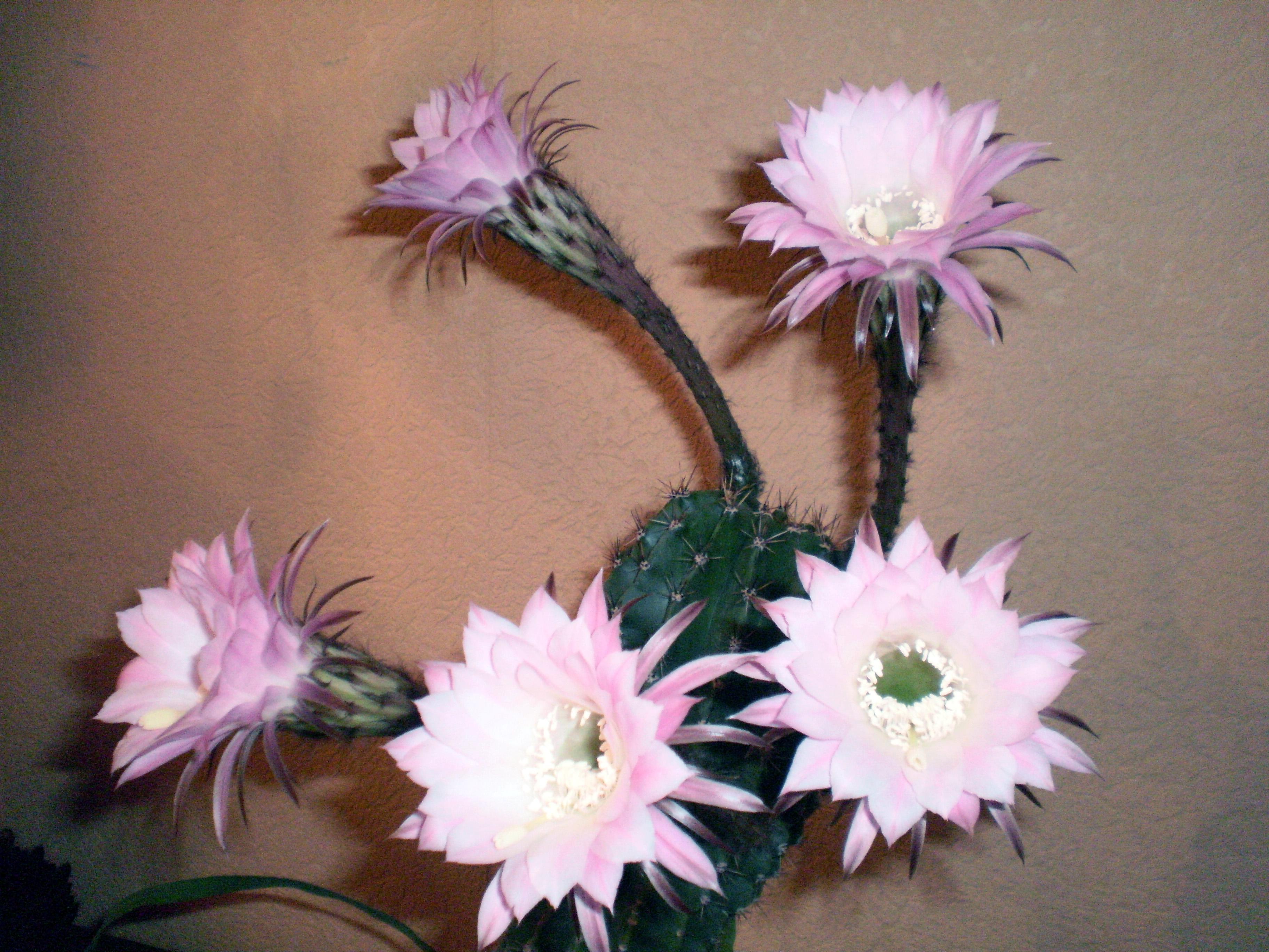 кактус вязанный крючком схема