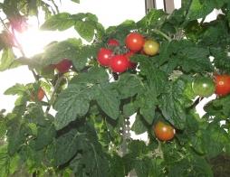 Мой огород на подоконнике))