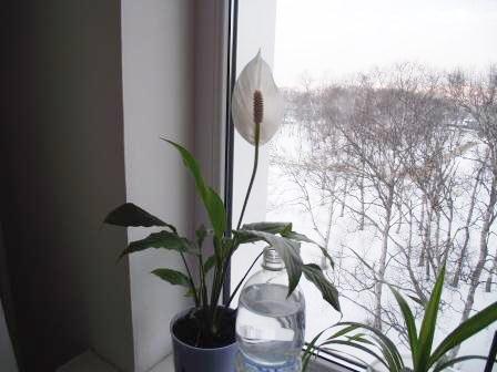 Мои комнатные цветы. Часть 1.