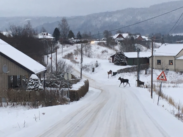 Элегантные красавцы норвежских лесов.