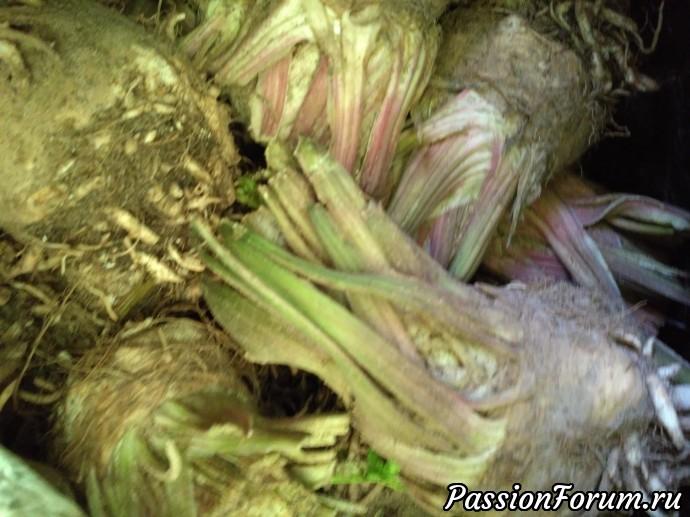 Вот такие клубни выкопала сельдерея. Богатый урожай.Пока выжимаю через соковыжималку с добавлением тыквы и яблок и пьем. Очень полезно.
