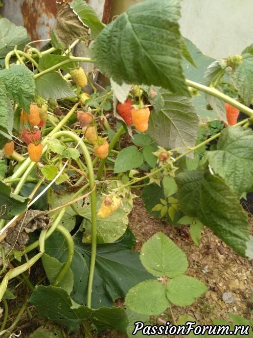 Несмотря на холод осенний, малина плодиться и радуют вкусовыми качествами. Собираю и замораживаю