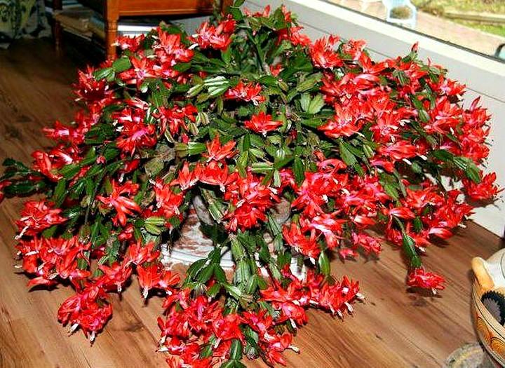 Декабрист красные цветы