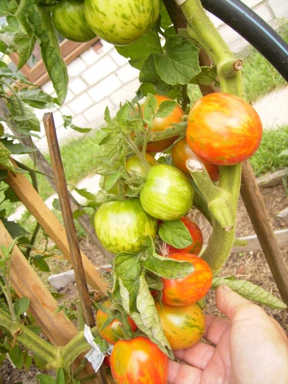 Опять о них, о помидорах!