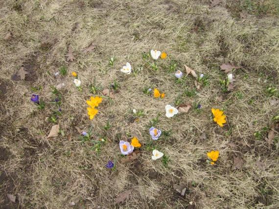 Еще цветы - крокусы