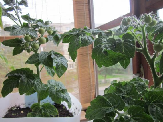 мои балконные растения