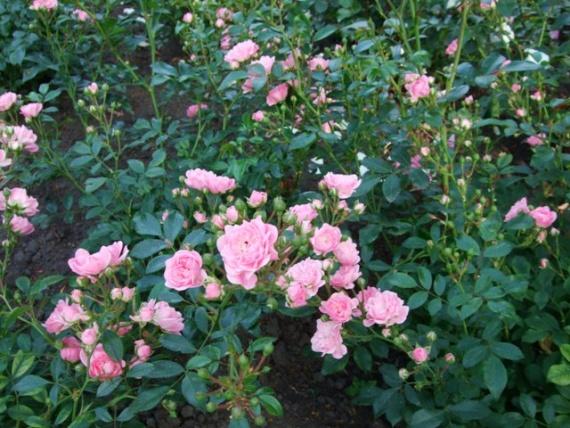 Роза - королева цветов... Для вдохновения вам, дорогие рукодельницы! Фото автора...:)