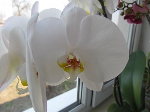 Мамины орхидеи!