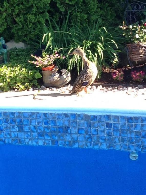 Утки в бассейне