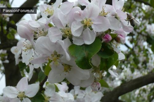 Яблони в цвету!
